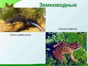 Земноводные Тритон гребенчатый Лягушка травяная