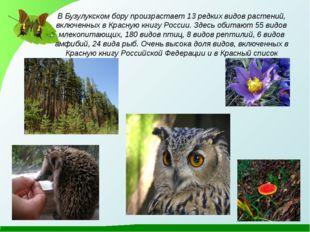 В Бузулукском бору произрастает 13 редких видов растений, включенных в Красну