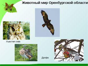 Ушастая сова Животный мир Оренбургской области Дрофа