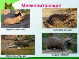 Млекопитающие Европейский байбак Выхухоль русская Норка европейская Выдра сев