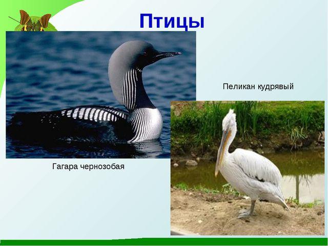 Птицы Гагара чернозобая Пеликан кудрявый