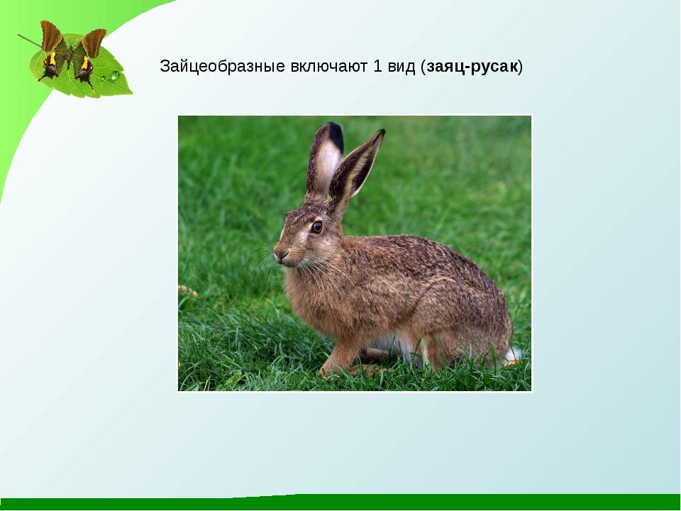 Зайцеобразные включают 1 вид (заяц-русак)