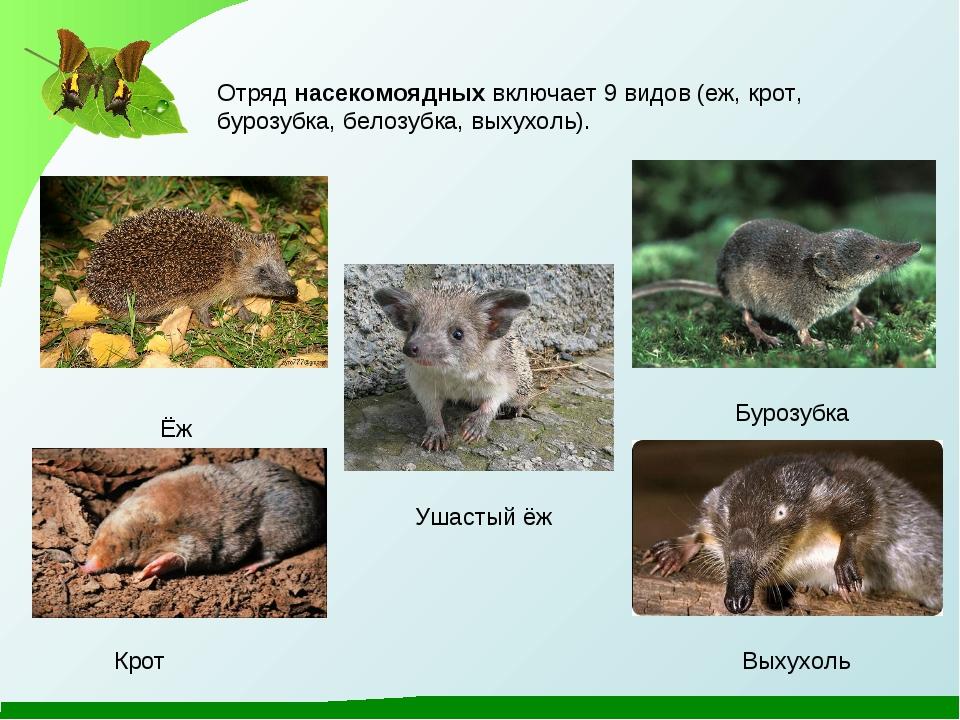 Ёж Бурозубка Крот Выхухоль Отряд насекомоядных включает 9 видов (еж, крот, бу...