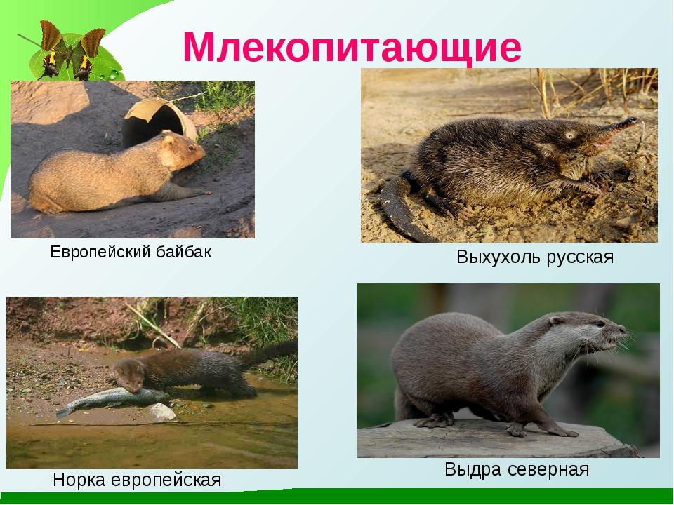 Млекопитающие Европейский байбак Выхухоль русская Норка европейская Выдра сев...