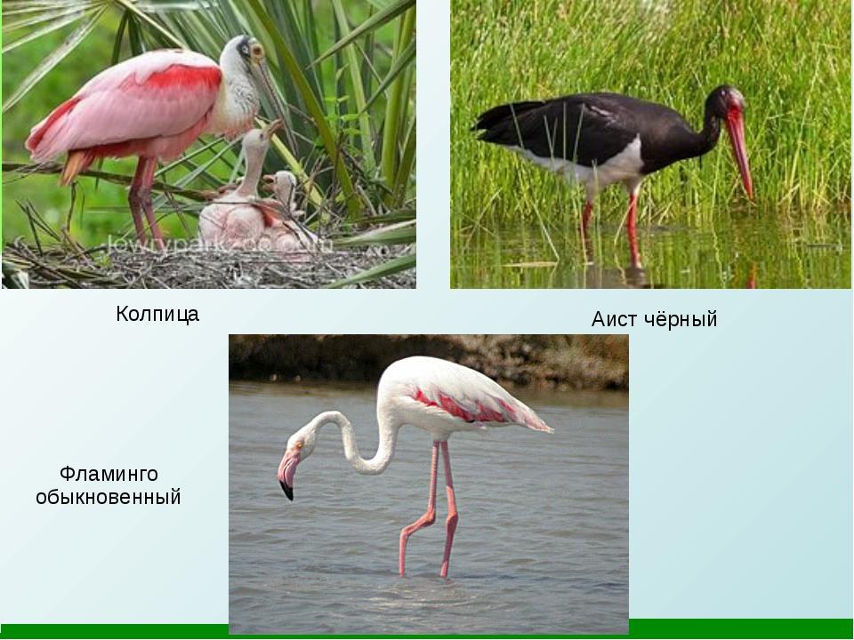 Колпица Аист чёрный Фламинго обыкновенный