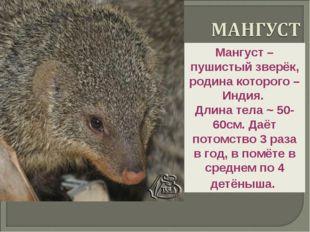 Мангуст – пушистый зверёк, родина которого – Индия. Длина тела ~ 50-60см. Даё