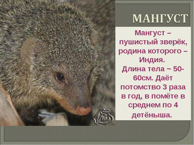 Мангуст – пушистый зверёк, родина которого – Индия. Длина тела ~ 50-60см. Даё...