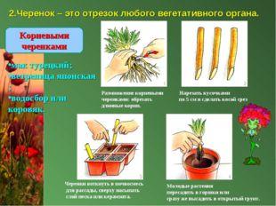 2.Черенок – это отрезок любого вегетативного органа. Размножение корневыми На