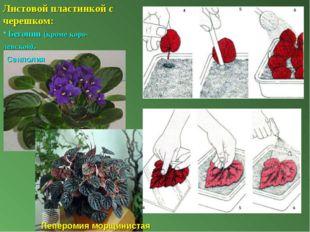 Листовой пластинкой с черешком: Бегонии (кроме коро-левской). Сенполия Пеперо