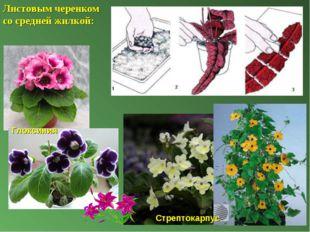 Листовым черенком со средней жилкой: Глоксиния Стрептокарпус
