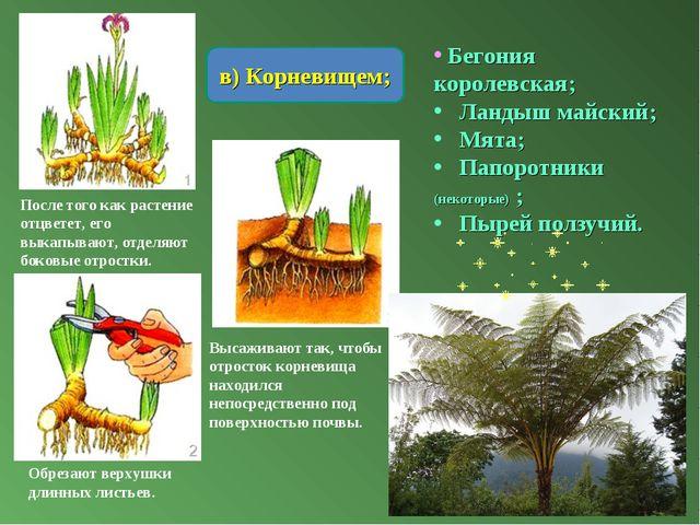 в) Корневищем; После того как растение отцветет, его выкапывают, отделяют бок...