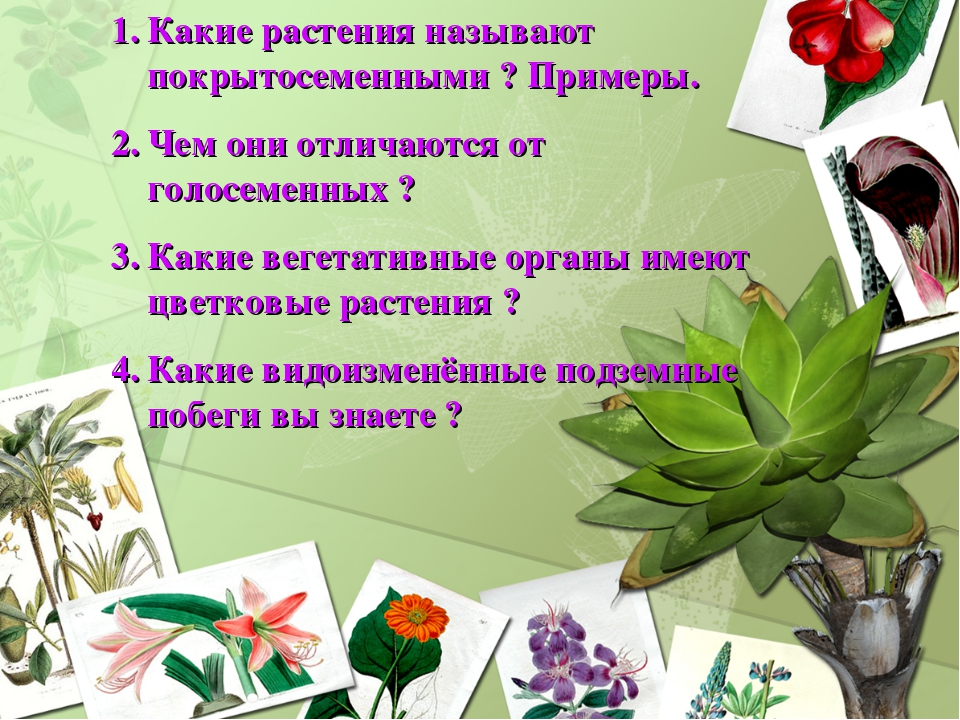Какие растения называют покрытосеменными ? Примеры. Чем они отличаются от гол...
