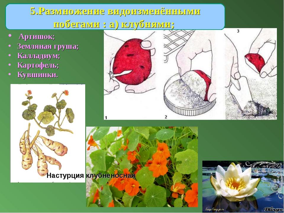 5.Размножение видоизменёнными побегами : а) клубнями; Артишок; Земляная груша...