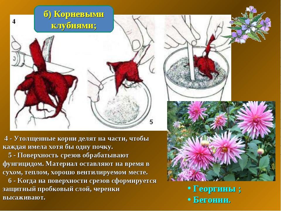 б) Корневыми клубнями; 4 - Утолщенные корни делят на части, чтобы каждая имел...
