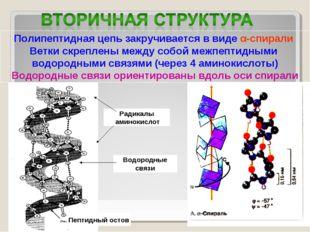 Полипептидная цепь закручивается в виде α-спирали Ветки скреплены между собой