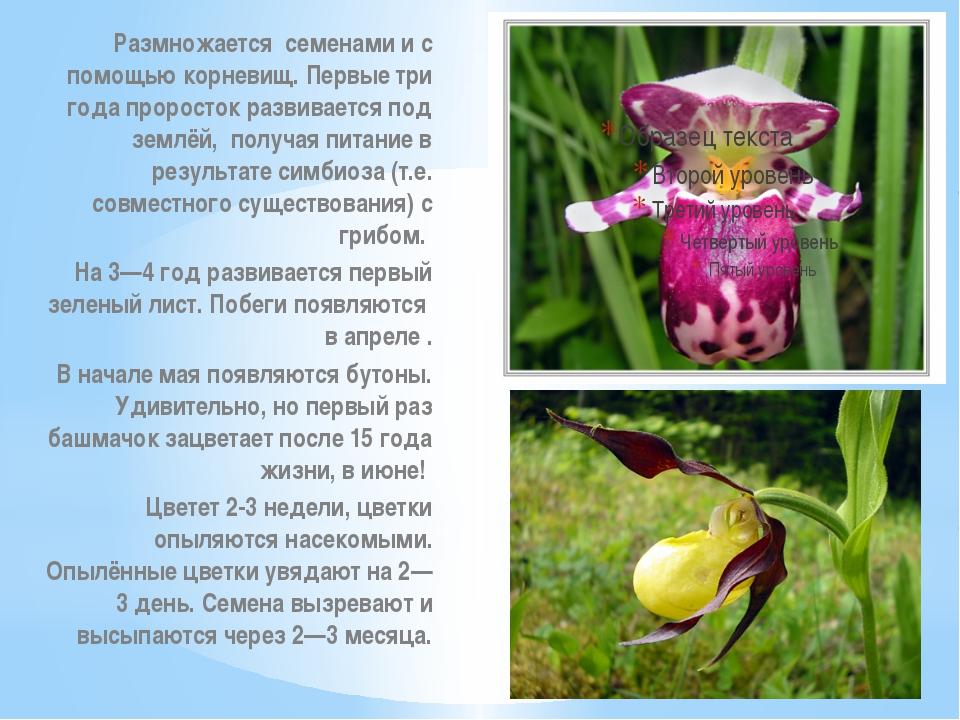 Размножается семенами и с помощью корневищ. Первые три года проросток развива...