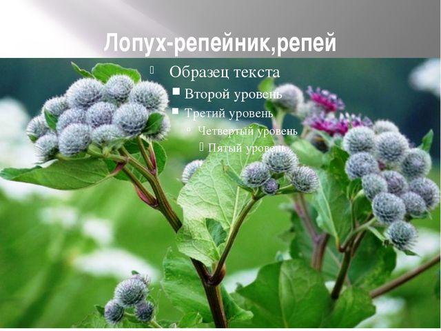 Лопух-репейник,репей