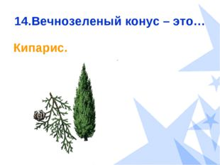 14.Вечнозеленый конус – это… Кипарис.
