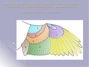 Перья крыла птицы: 1— маховые 1-го порядка; 2— большие кроющие; 3— крылышк