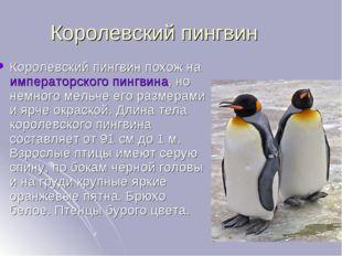 Королевский пингвин Королевский пингвин похож наимператорского пингвина, но