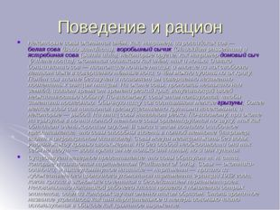 Поведение и рацион Некоторые совы охотятся днём, как, например, из российских