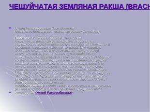 ЧЕШУЙЧАТАЯ ЗЕМЛЯНАЯ РАКША (BRACHYPTERACIAS SQUAMIGERA) Отряд Ракшеобразные (C