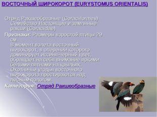 ВОСТОЧНЫЙ ШИРОКОРОТ (EURYSTOMUS ORIENTALIS) Отряд Ракшеобразные (Coraciiforme