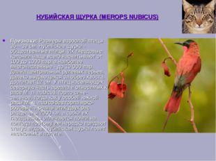 НУБИЙСКАЯ ЩУРКА (MEROPS NUBICUS) Признаки:Размеры взрослой птицы 36—39 см. Н