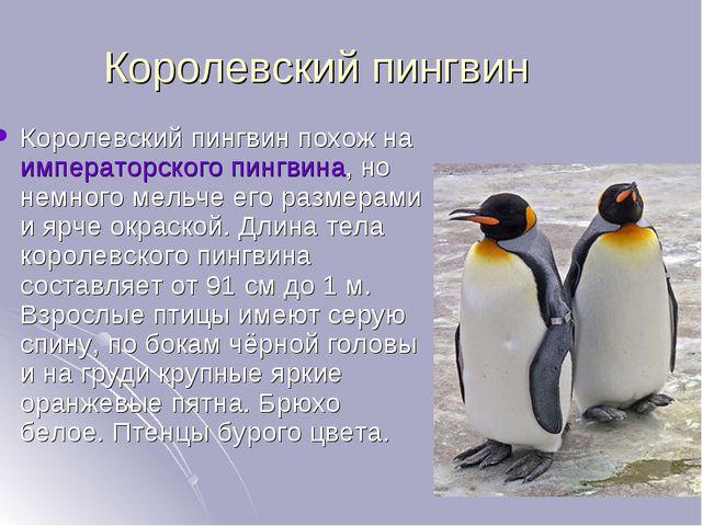 Королевский пингвин Королевский пингвин похож наимператорского пингвина, но...