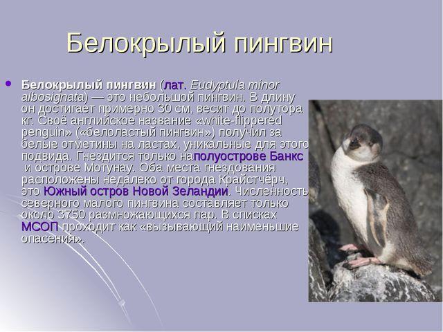 Белокрылый пингвин Белокрылый пингвин(лат.Eudyptula minor albosignata)— эт...