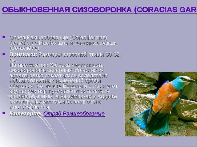 ОБЫКНОВЕННАЯ СИЗОВОРОНКА (CORACIAS GARRULUS) Отряд Ракшеобразные (Coraciiform...