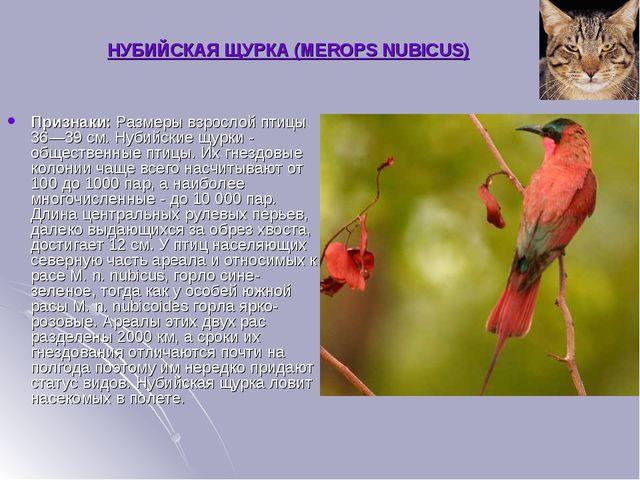НУБИЙСКАЯ ЩУРКА (MEROPS NUBICUS) Признаки:Размеры взрослой птицы 36—39 см. Н...
