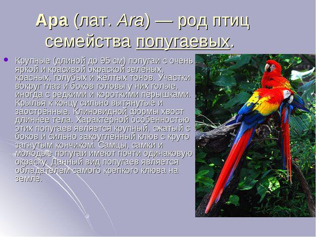 Ара(лат.Ara)— род птиц семействапопугаевых. Крупные (длиной до 95 см) поп...