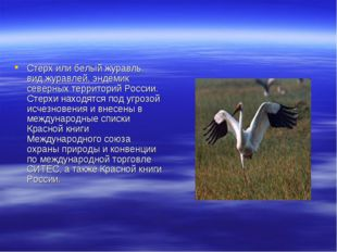 Стерх или белый журавль. вид журавлей, эндемик северных территорий России. Ст