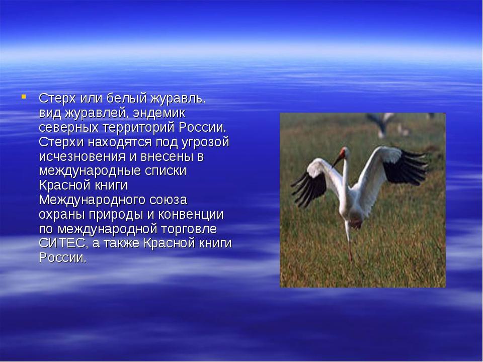 Стерх или белый журавль. вид журавлей, эндемик северных территорий России. Ст...