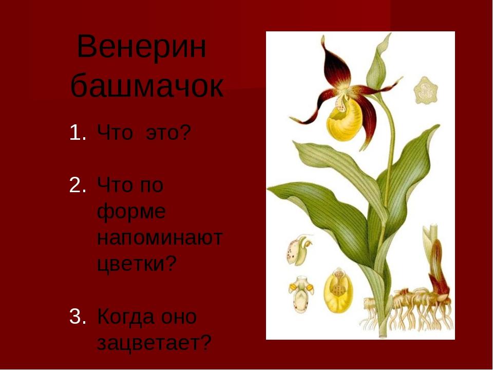 Венерин башмачок Что это? Что по форме напоминают цветки? Когда оно зацветает?