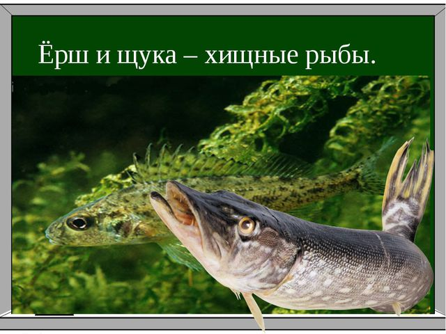 Ёрш и щука – хищные рыбы.