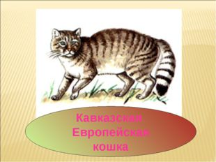 Кавказская Европейская кошка