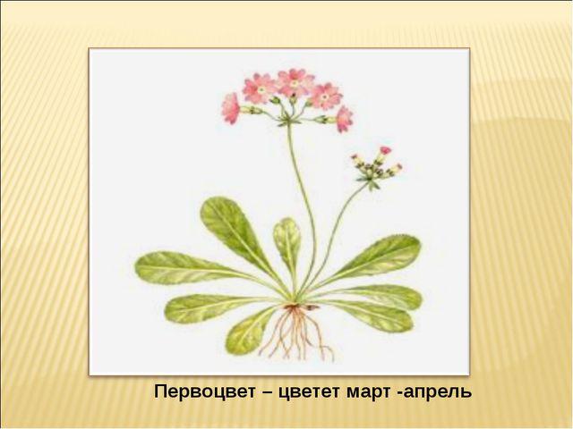 Первоцвет – цветет март -апрель