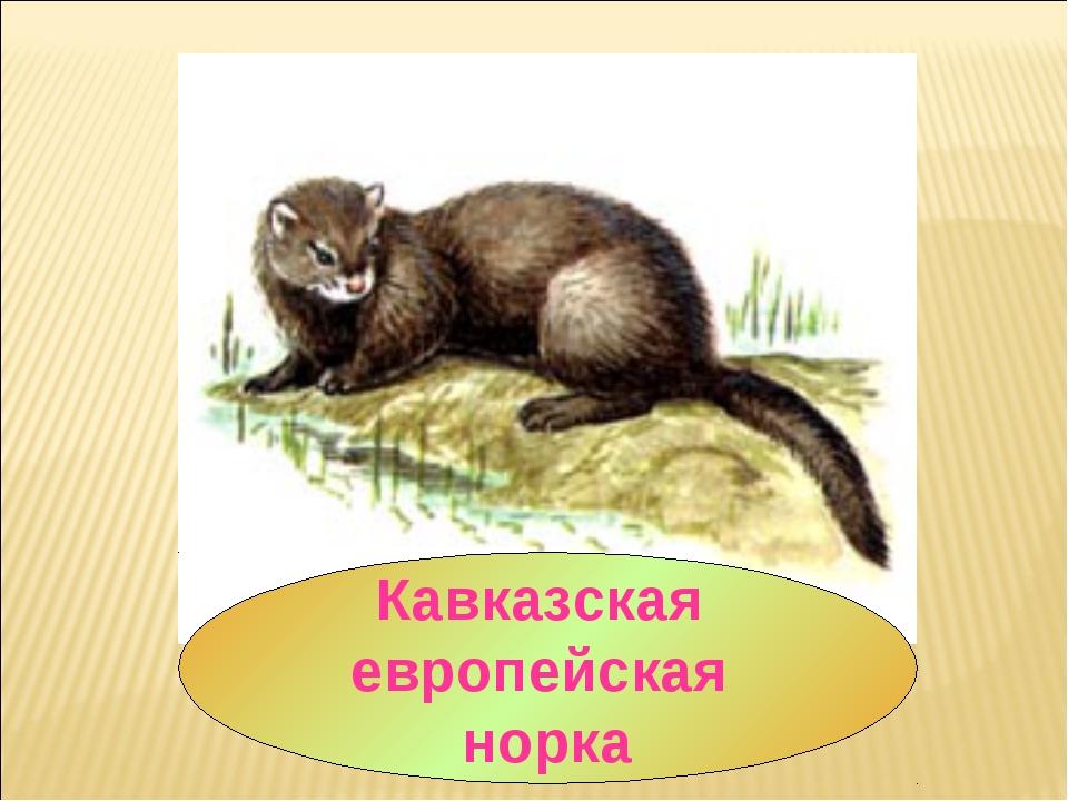 Кавказская европейская норка