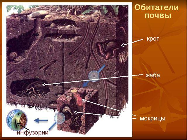 Обитатели почвы крот мокрицы инфузории жаба