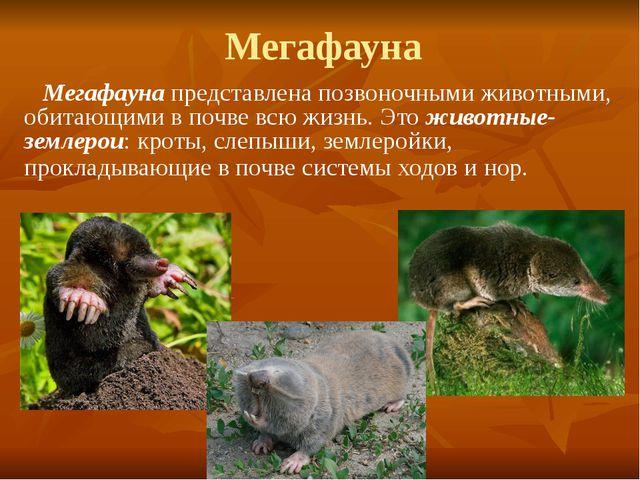 Мегафауна Мегафауна представлена позвоночными животными, обитающими в почве в...