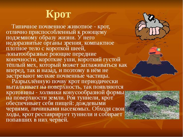 Крот Типичное почвенное животное - крот, отлично приспособленный к роющему по...