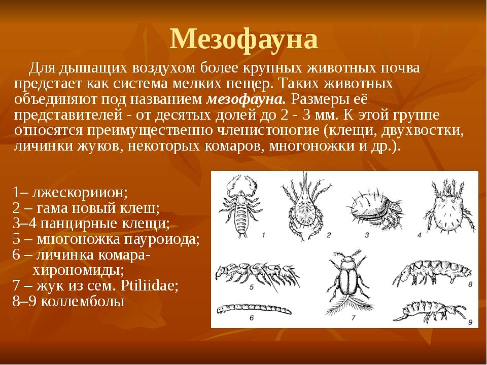 Мезофауна Для дышащих воздухом более крупных животных почва предстает как сис...