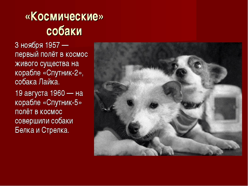 «Космические» собаки 3 ноября 1957 — первый полёт в космос живого существа на...