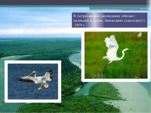 В Астраханском заповеднике обитают пеликаны и цапли. Заповедник существует с
