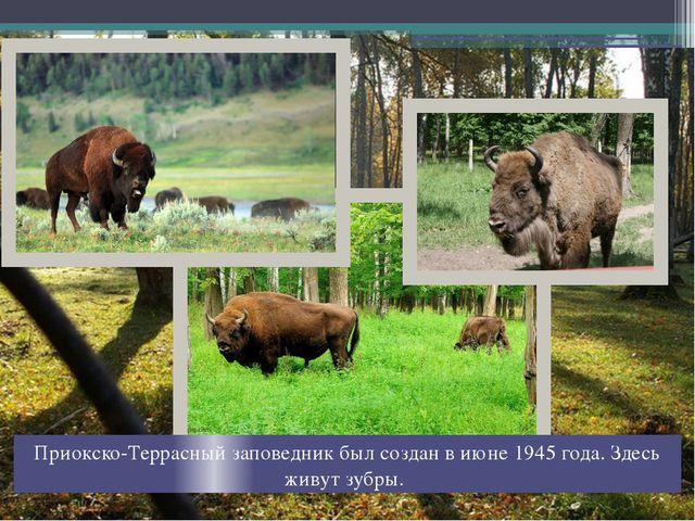 Приокско-Террасный заповедник был создан в июне 1945 года. Здесь живут зубры.