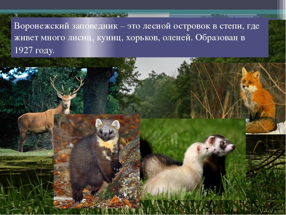 Воронежский заповедник – это лесной островок в степи, где живет много лисиц,...