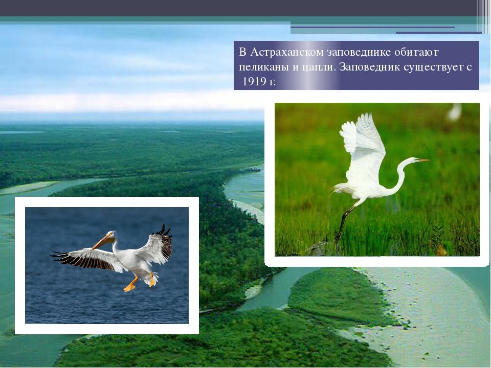 В Астраханском заповеднике обитают пеликаны и цапли. Заповедник существует с...