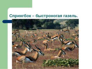 Спрингбок – быстроногая газель.